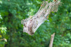 20160821-DSC_0721 (rpennington9) Tags: bokeh webs spiderwebs trapped tennessee chattanooga nature