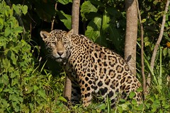 Marley (M) Jaguar (Panthera onca) on the Riverbank (Susan Roehl) Tags: braziltrip2016 thepantanal southamerica cuiabariver jaguar pantheraonca riverbank marley youngmale sueroehl naturalexposures panasonic lumixdmcgh4 100400lens ngc coth5