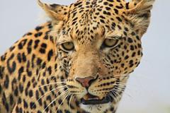 Leopard (meinanderm) Tags: leopard animal botswana africa afrika face