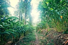 Cardamom Plantation in Munnar India (CamelKW) Tags: 2014 india kerala cardamom plantation munnar