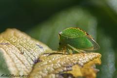 27082016-_PM03380_GF (michel paquin2011) Tags: insecte parc des rapides lasalle