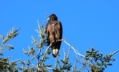 Eagle (careth@2012) Tags: nature wildlife beak feathers branches perched sky