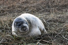 seal (Windless) Tags: seal donnanook lincolnshire