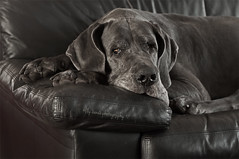 40 - 52 - On the couch ! (aenee) Tags: aenee xziva 52weeksfordogs2016 week40 challenge bluegreatdane blauweduitsedog doguealemagne dogoalman couch monochrome selectivecolour dsc2339 20160926