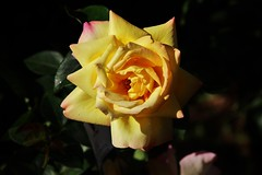 Rose (Hugo von Schreck) Tags: hugovonschreck rose blume flower macro makro blte canoneos5dsr tamron28300mmf3563divcpzda010 outdoor