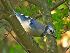 Blue waiting his turn at the bath! (Photos by the Swamper) Tags: birds jays bluejay