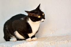 Gata Gitana (5) (adopcionesfelinasvalencia) Tags: gata gitana