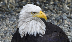 Bald Eagle (Pete Foley) Tags: goldeneagle alaska nature ikon d7000 overtheexcellence littlestories picswithsoul