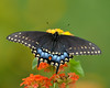 AFC_7067_8x10 (thorntm) Tags: nature macro lantanaflowers flowers nikond800 insect butterfly pipevinebutterfly t16091201 mdtpix flickrestrellas allnaturesparadise autofocus