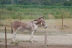 11072016-DSCF4914-2 (I Ring) Tags: sna equus africanus asinus donkey ne commun camargue juli 2016 france domestic fujifilm fuji xt1 animals