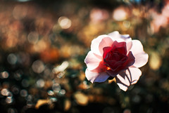 outshined (ewitsoe) Tags: flower rose carnation flowers garden autumn bokeh landscape detail sunshine ewitsoe nikond80 35mm street city park poland polska