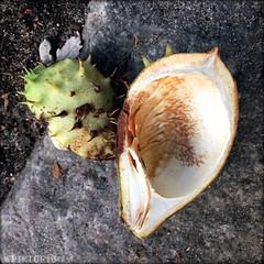 fallen (PIKTORIO) Tags: berlin germany chestnut nature lookingdown fall fallen autumn package ground empty shell skin seed piktorio