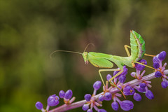 With a Twist of Lime (kathybaca) Tags: animal animals insects mantid mantis africanmantis flower predator green macro color nature world planet bug stalk tropical invertabrates earth wildlife
