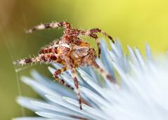 Spider above flower (Ryan B. Hougesen) Tags: spider canon eos 60d ef100mm f28 macro usm ring lite mr14ex ii canoneos60d ef100mmf28macrousm canonmacroringlitemr14exii flower