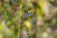 Su uno stelo d'erba ((Raffaella@)) Tags: animal farfalla butterfly bokeh canon macro settembre september pioggia rain colore color colors insect insetto prato erba grass