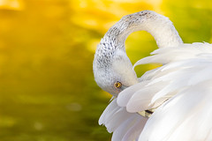 Flame-Colored (ilkay.cihaner) Tags: canon eos550d 55250mm dslr dslrclub dx crop flamingo animal bird shiny shy spring shyness ngc animalplanet outdoor depthoffield