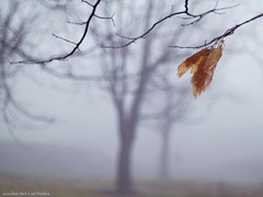 Last leaves(explore) (Guillermo Carballa) Tags: leaves leafs trees fog mist forest woods bokeh carballa olympus e1