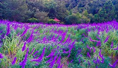 Lavenders @ Wuling Farm, Taiwan. (Evo-PlayLoud) Tags: appleiphone6plus appleiphone6 iphone6plus iphone6 appleiphone 6plus 6 mobilesnapshot snapshot snapshots panorama panoramas lavender flower plant grass grassland landscape scenery tree trees purple color colorful farm wulingfarm          green  tawian taichung         photoshopexpress psexpress