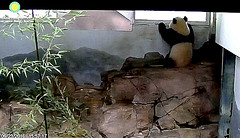 I really wanna go outside, but mama says I gotta wait 'til t'mawra.  ..zx515.png (heights.18145) Tags: smithsoniansnationalzoo ccncby cuteanimals pandas bears beibei meixiang pandabears windowsill