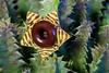 Life Saver Plant (J_Richard_Link) Tags: huerniazebrina succulent plant flower flora nature blossom lifesaverplant macroflower