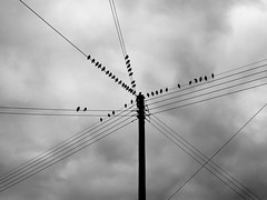 Birds on many wires (Alistair Prentice.) Tags: bird art pentax q deep black moody wall prentice contrast sky landscape county armagh starling murmuration roost winter