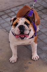 I Smell Gringo! (Ctuna8162) Tags: antofagasta chile afternoon malecon dog bulldog