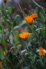 Orange Flower (jakoboberle) Tags: orange green grün flower blume vines reben ortenaukreis blackforest schwarzwald germany deutschland german deutsch landscape landschaft