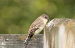 7K8A1985 (rpealit) Tags: scenery wildlife nature kittatinny valley state park eastern phoebe bird
