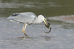 Heron Eel 2 (Ged Gill) Tags: leightonmoss eel heron slippery feeding
