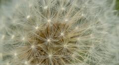 dandelion (Robert Benatzky Picture) Tags: dandelion lwenzahn pusteblume makro natur nature mikrokosmos