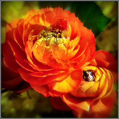 Ranuncoli (Luigi Alesi) Tags: easter happy nikon raw fiori auguri pasqua d90 buona ranuncoli mygearandme mygearandmepremium mygearandmebronze mygearandmesilver mygearandmegold
