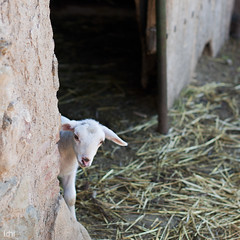 corderito (idni . idniama) Tags: white blanco animal farm lamb gettyimages granja cordero 2013 madremanya gettyimagesiberiaq3