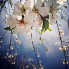 Gorgeous almond blossom (VillaRhapsody) Tags: pink flowers blue sky beautiful garden spring pretty blossom almond bloom springtime almondtree bigmomma challengeyouwinner cyunanimous mygearandme mygearandmepremium mygearandmebronze mygearandmesilver mygearandmegold mygearandmeplatinum mygearandmediamond