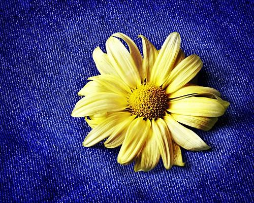 blue flower floral yellow botanical yellowflower jeans daisy denim bluejeans nikkor1855mmf3556gvr nikond3100