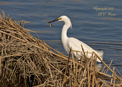 Snowy Egret Looking for Dinner at Mill Creek Marsh in Secaucus NJ (Meadowlands) (takegoro) Tags: creek marsh nature wildlife snowy meadowlands egret mill nj birds secaucus egret