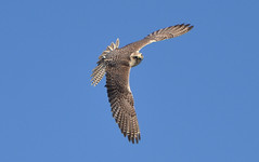 Turmfalke (Falco tinnunculus) - Common Kestrel in a perfect turn (skydiver_hh - Thanks for more than 120k views) Tags: milan bird robin star nikon fuji eagle hawk adler hunting young parrot owl falcon emu hunter prey buzzard raven taube papagei vogel uhu meise strauss rabe krhe falke geier harrishawk eule reiher drossel graureiher jger greifvogel kauz angriff musebussard junger bussard singvogel eisvogel hs10 laufvogel wanderfalke blaubussard neuweltgeier altweltgeier d7000