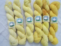 Yellow Sock Yarn (ShearedBliss) Tags: wool yarn dye dyeing fiber handdyed fiberarts naturaldye