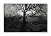 Oak Tree at Emigrant Lake (Daiku_San) Tags: blackandwhite ishootfilm expired expiredfilm kodaktmax100 ashlandoregon minoxgl epsonv500 bwfp