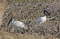 Th13_05305a (jerryoldenettel) Tags: bird thailand ibis whiteibis blackheadedibis threskiornismelanocephalus pelecaniformes threskiornis orientalwhiteibis threskiornithidae 2013 bangtaboon bangtaboonmarshes