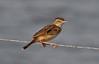 Th13_05293a (jerryoldenettel) Tags: bird thailand passeriformes cisticolajuncidis zittingcisticola cisticola passerine 2013 cisticolidae bangtaboon bangtaboonmarshes