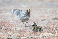 Prairie Chicken FIghting 4 (DawnWilsonPhotography) Tags: orange brown color bird nature birds animal yellow spring colorado dancing tan grouse buff mating males environment prairie endangered fighting plains lek stockphoto wray booming prairiechicken greaterprairiechicken tympanuchuscupido groundbird airsacs