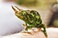 Jackson's Chameleon (Suzy-has-stinky-feet) Tags: maui chameleon jacksons hawaii2013