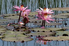 Water lilies around Sasan Gir, Gujarat (Sekitar) Tags: india nature water beautiful lily lilies gujarat gir alam seerosen sasan saurashtra