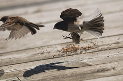 Junco vs bruant (Marie-Marthe Gagnon) Tags: food bird animal wings action junco feather qubec sparrow oiseaux chasing darkeyedjunco juncohyemalis chipping chippingsparrow spizellapasserina passerina spizella hyemalis darkeyed greatnature mpdquebec lauretides