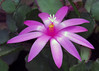 Holiday Cactus (njchow82) Tags: flower nature closeup purple lumen simplyflowers flowerscolors holidaycactus exquisiteflowers awesomeblossoms exceptionalflowers earthnaturelife hennysgardens nancychow canonpowershotsx50hs