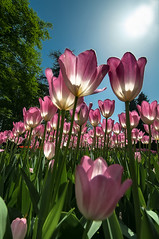Tulipani - Tulips (Massimo Ciotti - (Alfaluna)) Tags: italy flower macro nature nikon italia tulips natura tulip fiori fiore tulipano 1024 tulipani d90 macrofiori