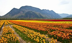 Valley Carpet (gordeau) Tags: mountain landscape tulips many gordon ashby flickrchallengegroup flickrchallengewinner gordeau