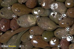 First Breath (Dom Greves) Tags: uk spring pond wildlife amphibian surrey april spawning development tadpole wetland behaviour ranatemporaria respiration commonfrog
