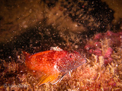 Tripterygion delaisi (susanamart) Tags: portugal underwater mergulho scuba arrbida scubadiving underwaterphotography uwp pedrinha fotosub tripterygiondelaisi canonixus80is setubaldistrict