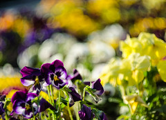 On a see of pansies (DomiKetu) Tags: flowers flower nature vintage lens 50mm spring nikon bokeh pansy mount m42 f18 russian pansies helios innamoramento helios77m4 77m d5100